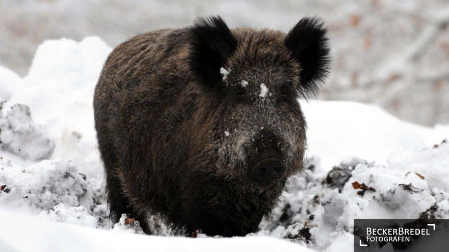 Wildschwein im Wildpark Karlsbrunn