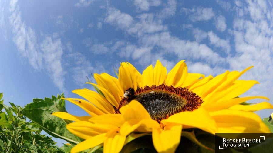 Sonnenblumenfeld in Erfweiler-Ehlingen