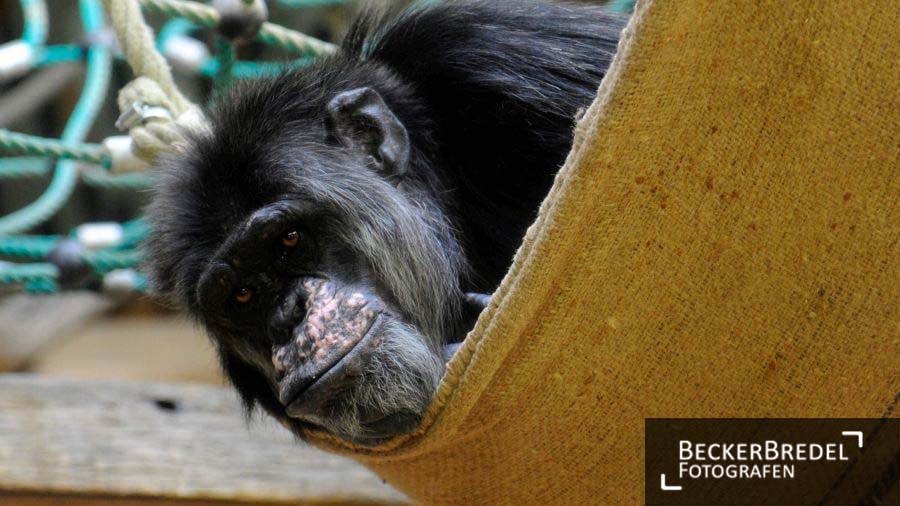 Schimpanse im Saarbrücker Zoo