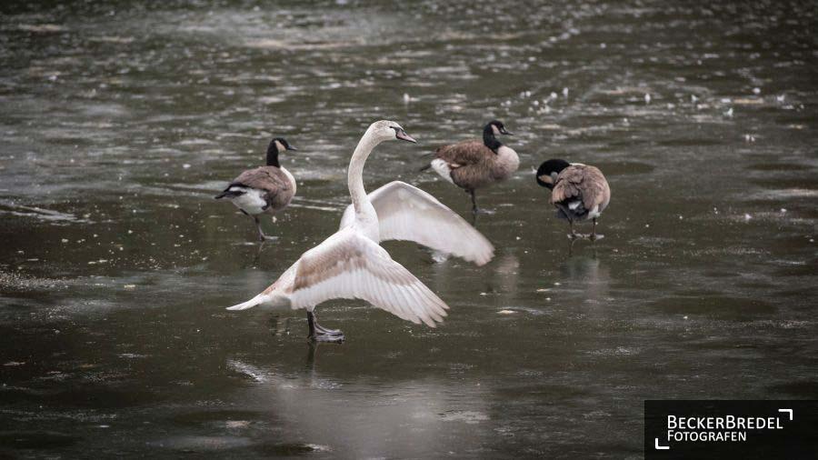 Wasservögel auf dünnem Eis